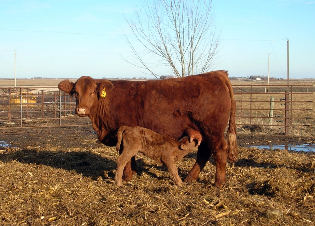 JBV Tiffany and her 2-14-2011 bull calf, sold to Kevin Ricke of Westside, Iowa